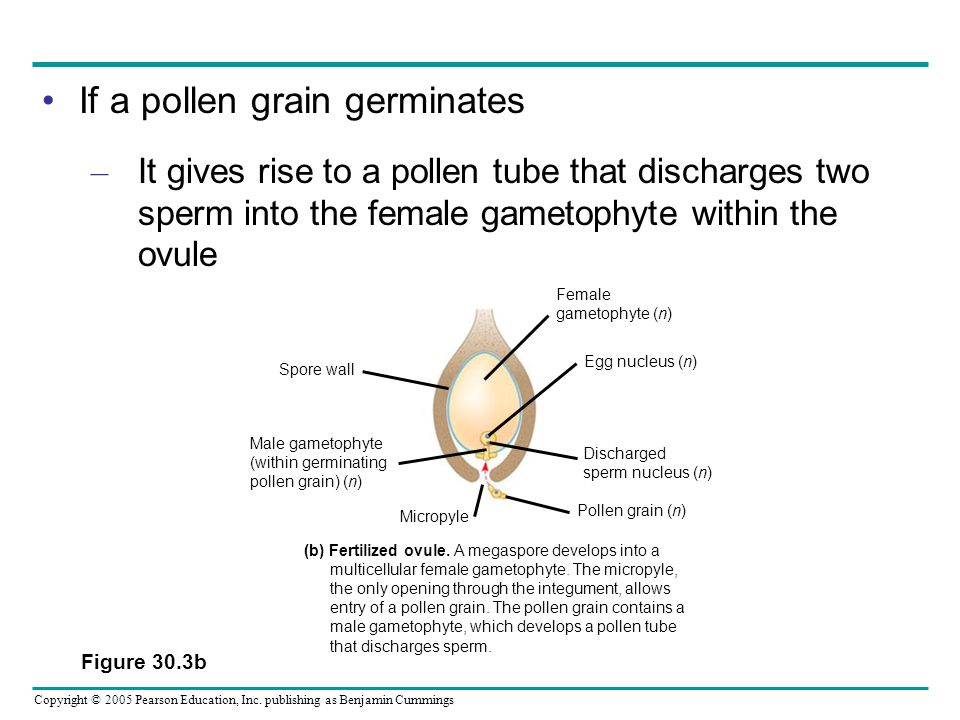 If a pollen grain germinates
