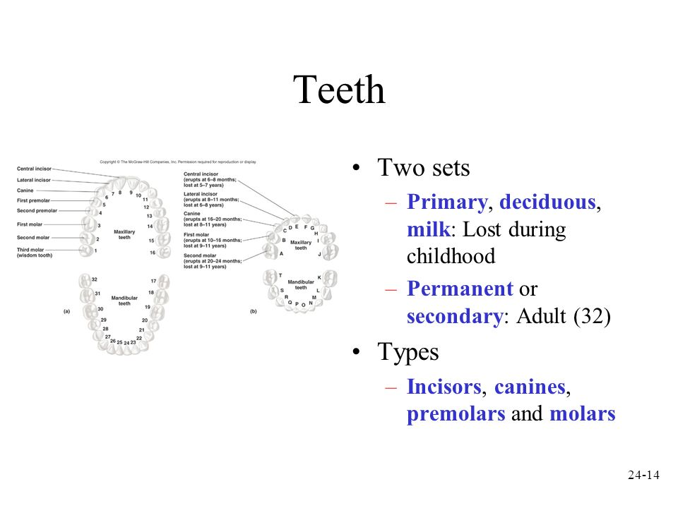 Teeth Two sets Types Primary, deciduous, milk: Lost during childhood