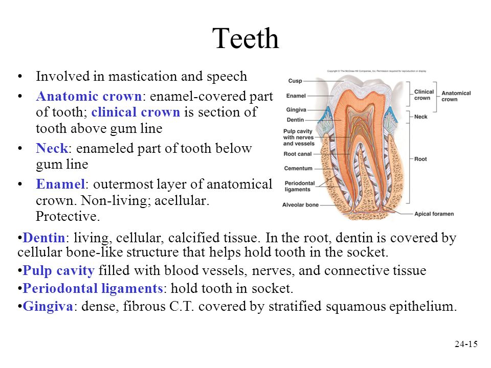 Teeth Involved in mastication and speech