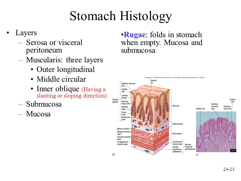 Stomach Histology Layers