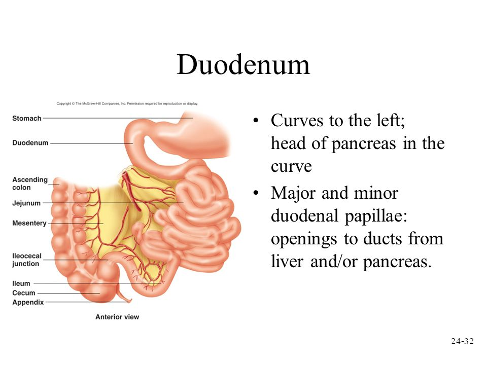 Duodenum Curves to the left; head of pancreas in the curve