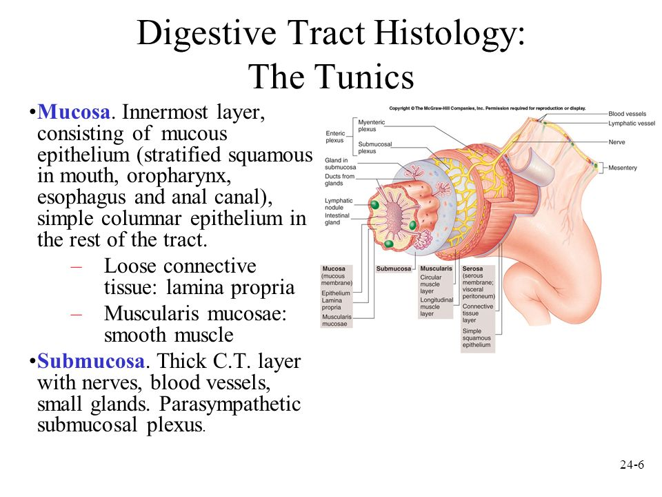Digestive Tract Histology: The Tunics