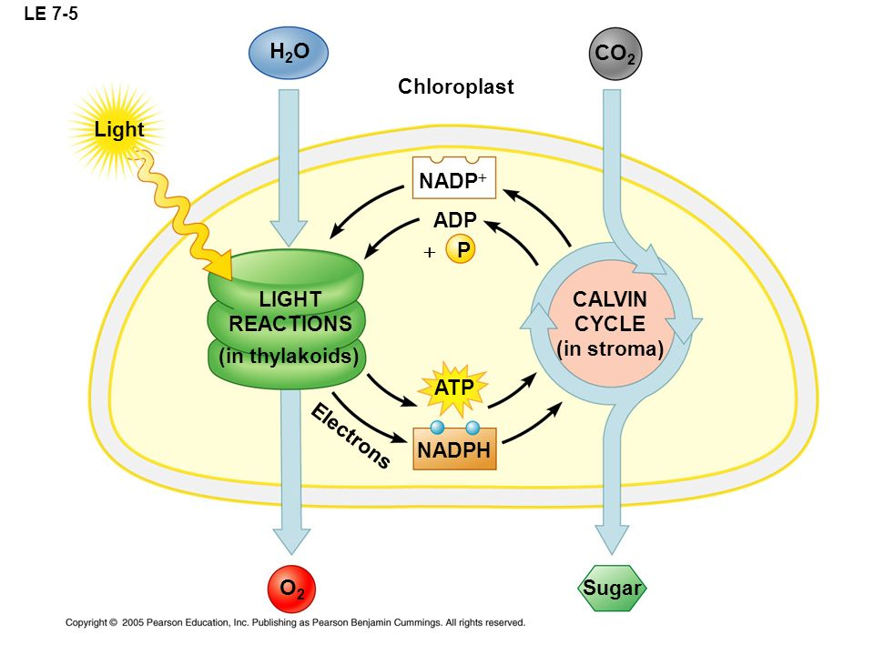 H2O CO2 O2 Chloroplast Light NADP+ ADP  P LIGHT REACTIONS CALVIN