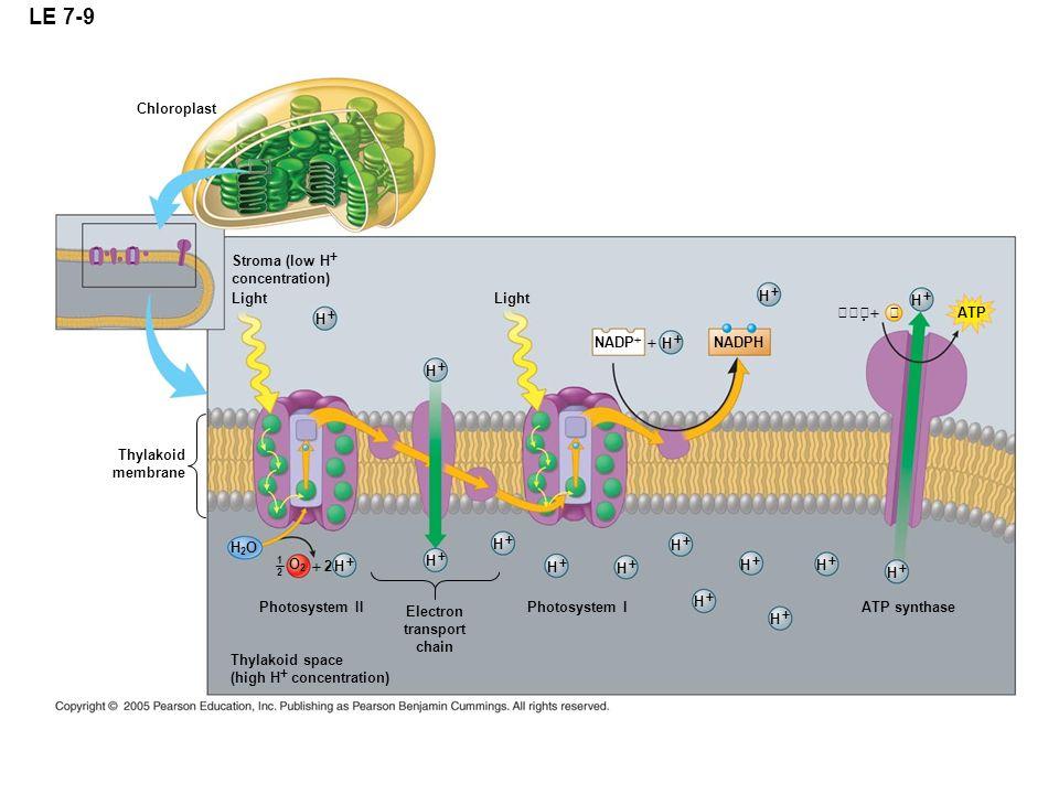 LE 7-9 + + + + + + + + + + + + + + + + Chloroplast Stroma (low H+