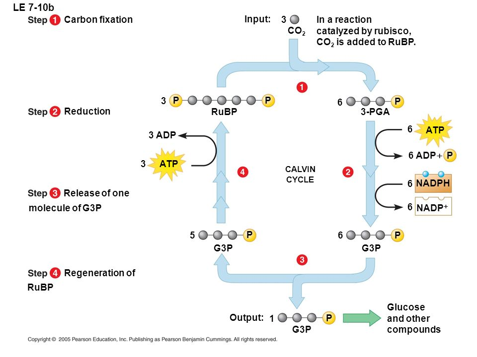 LE 7-10b Carbon fixation Input: 3 In a reaction catalyzed by rubisco,