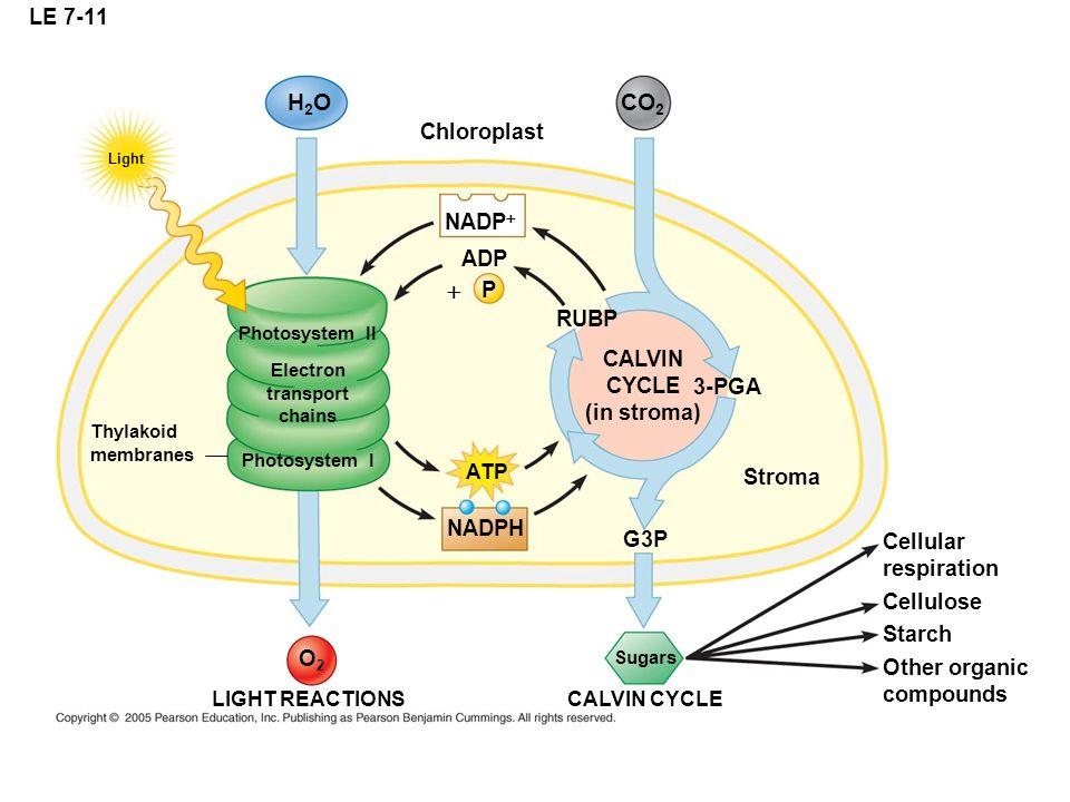 H2O CO2 + LE 7-11 Chloroplast NADP+ ADP P RUBP CALVIN CYCLE