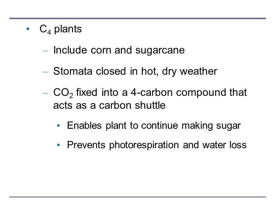 Include corn and sugarcane Stomata closed in hot, dry weather