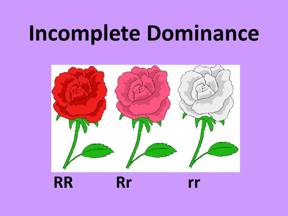 Incomplete Dominance RR Rr rr
