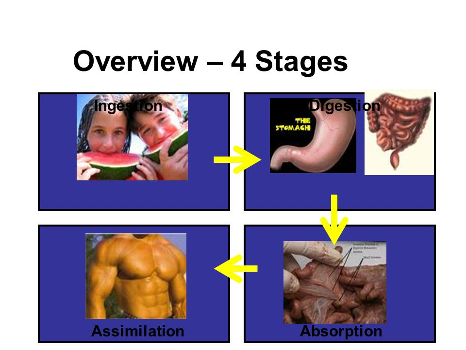 Overview – 4 Stages Ingestion Digestion Assimilation Absorption