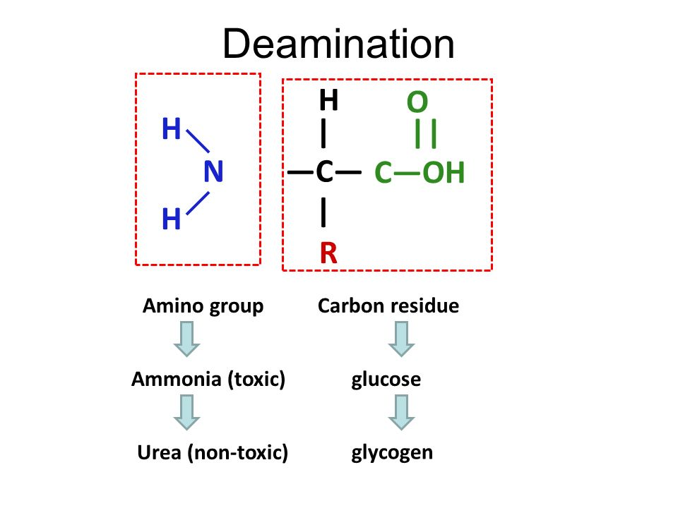 Deamination H O | H || —C— C—OH —N— R Amino group Carbon residue