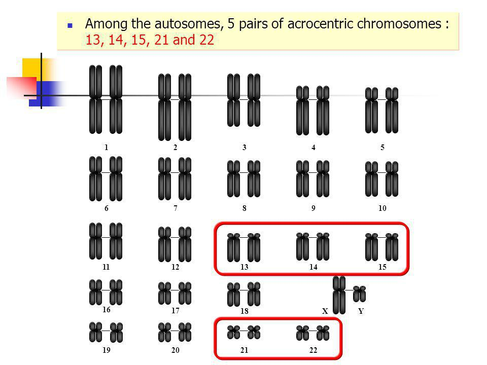 Among the autosomes, 5 pairs of acrocentric chromosomes : 13, 14, 15, 21 and 22