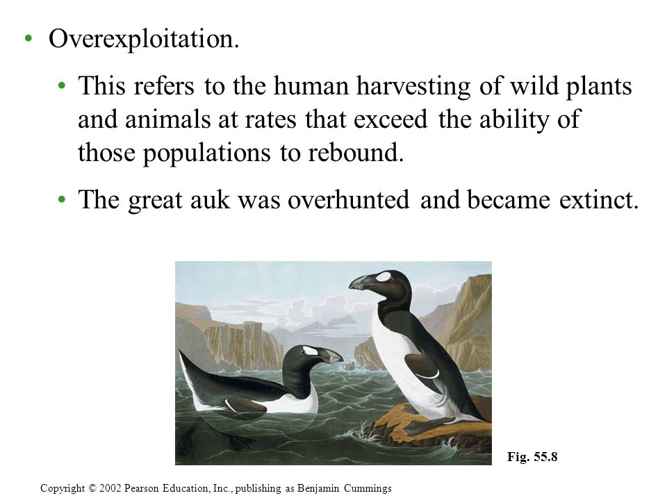 The great auk was overhunted and became extinct.