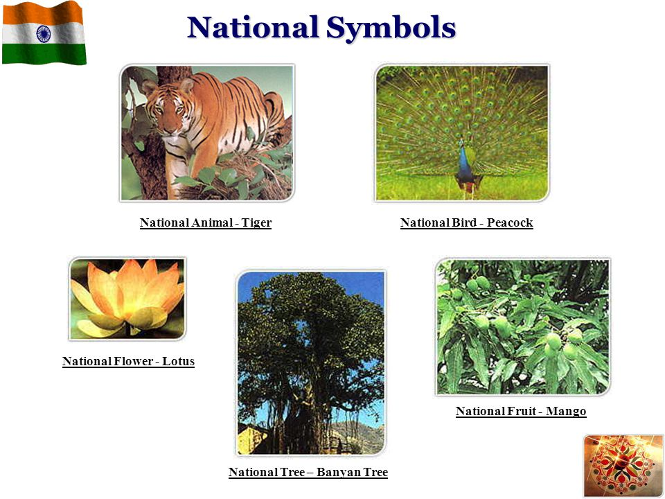 National Symbols National Animal - Tiger National Bird - Peacock
