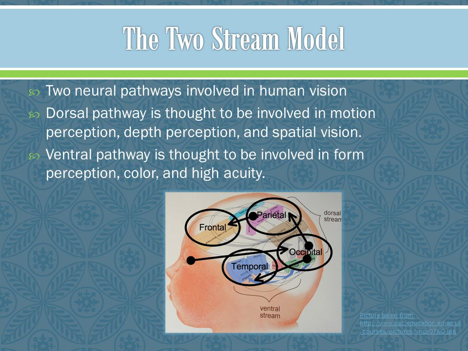The Two Stream Model Two neural pathways involved in human vision