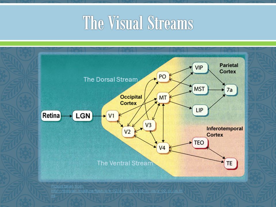 The Visual Streams The Dorsal Stream The Ventral Stream