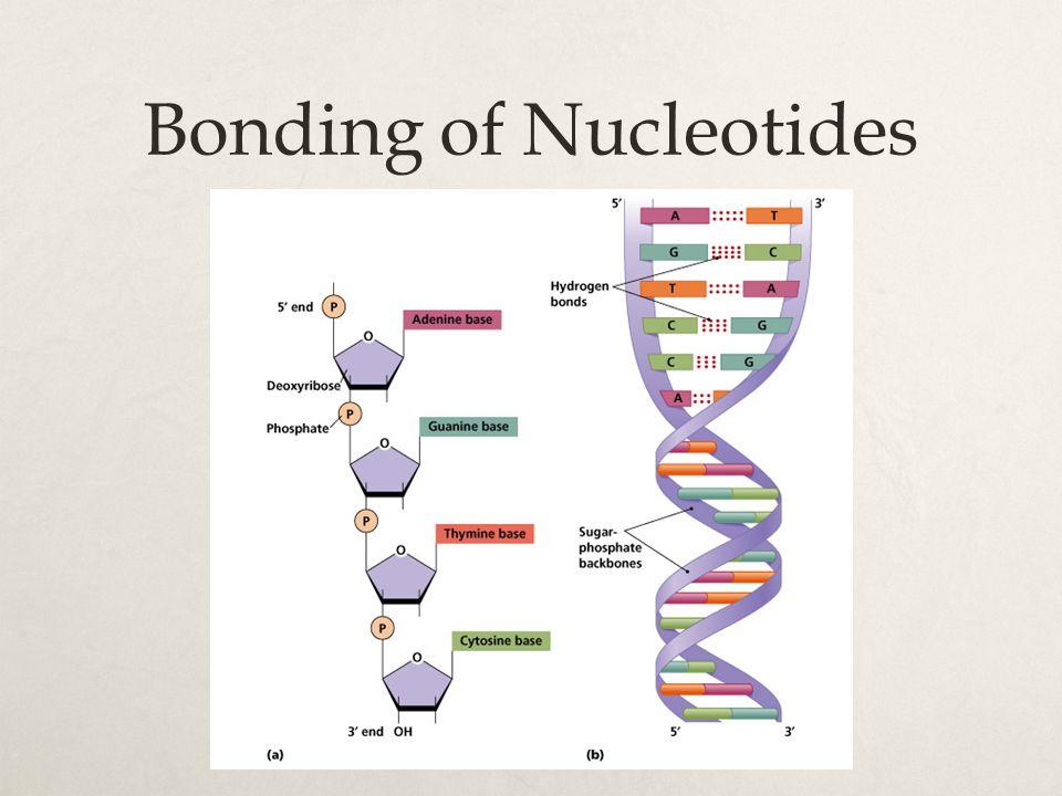Bonding of Nucleotides