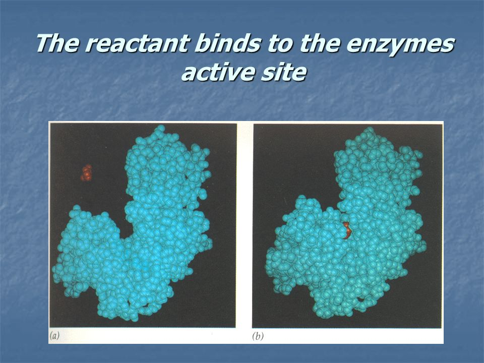 The reactant binds to the enzymes active site