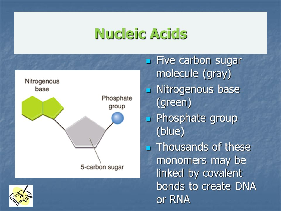 an overview of the molecule and the five carbon sugars Molecules: carbohydrates, lipide, proteins and nucleic acids 6 what is the   nucleotides consist of three parts: a five-carbon sugar, a phosphate group.