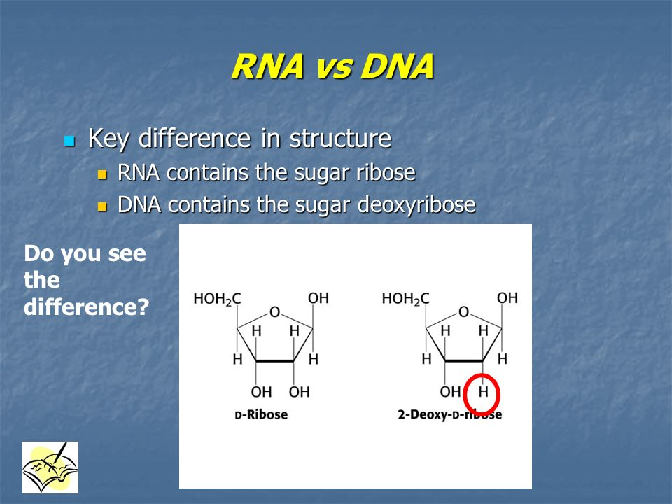 RNA vs DNA Key difference in structure RNA contains the sugar ribose