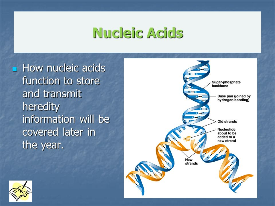 Nucleic Acids How nucleic acids function to store and transmit heredity information will be covered later in the year.