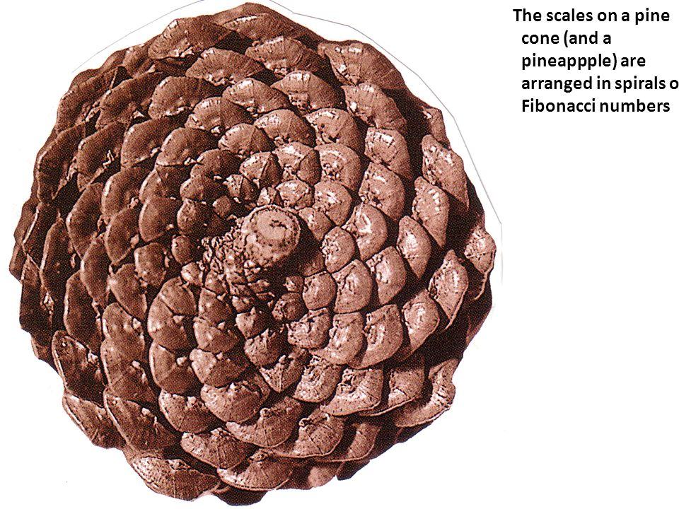 The scales on a pine cone (and a pineappple) are arranged in spirals of Fibonacci numbers