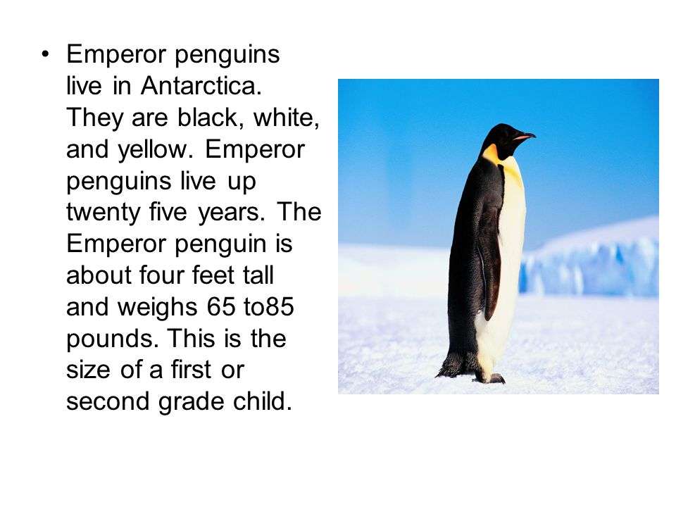 Emperor penguins live in Antarctica. They are black, white, and yellow