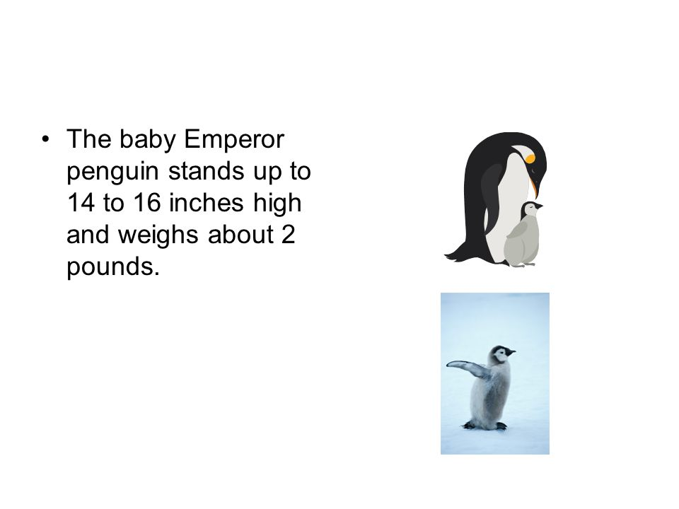 The baby Emperor penguin stands up to 14 to 16 inches high and weighs about 2 pounds.