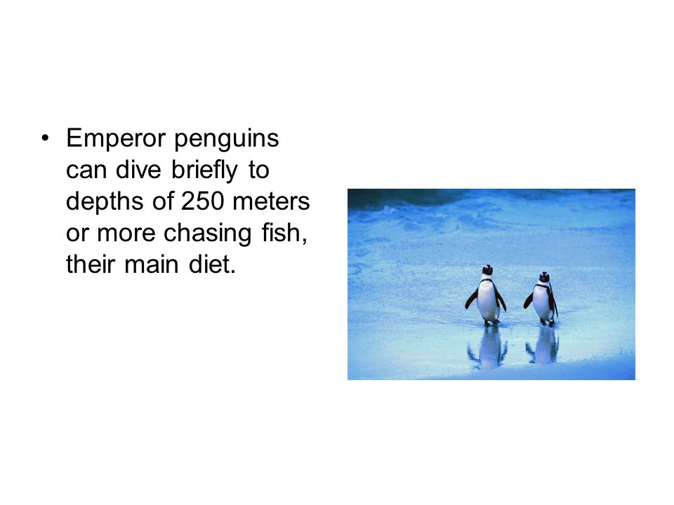 Emperor penguins can dive briefly to depths of 250 meters or more chasing fish, their main diet.