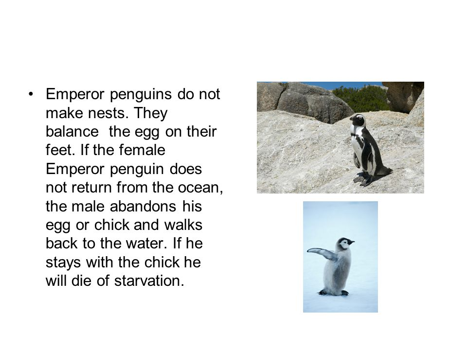Emperor penguins do not make nests. They balance the egg on their feet