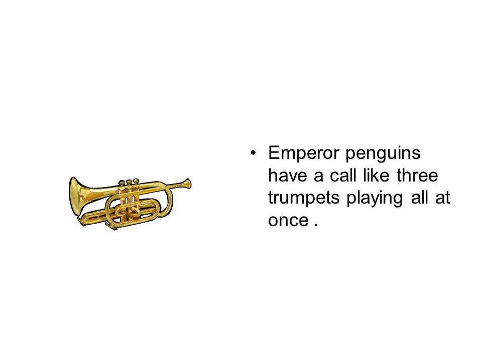 Emperor penguins have a call like three trumpets playing all at once .