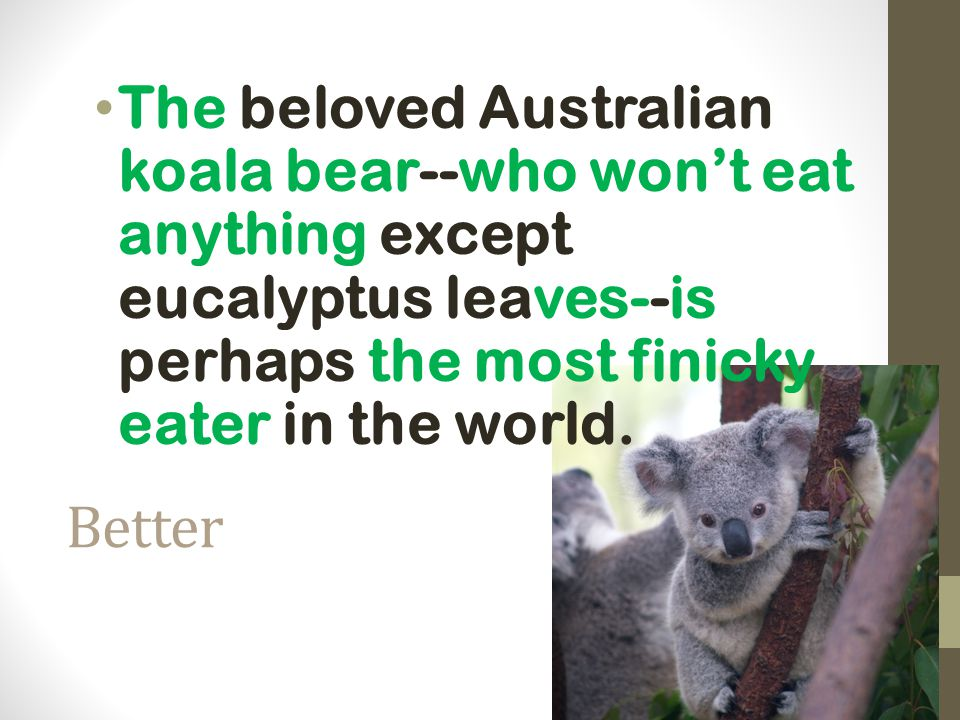 The beloved Australian koala bear--who won't eat anything except eucalyptus leaves--is perhaps the most finicky eater in the world.
