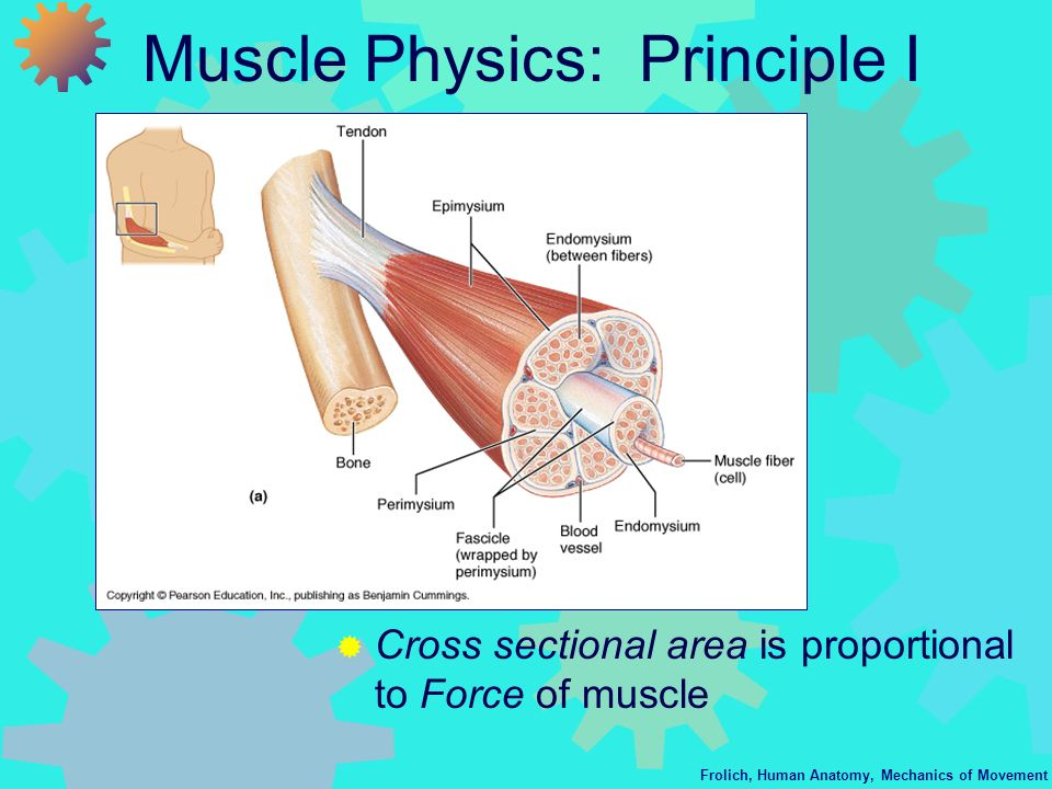 Muscle Physics: Principle I