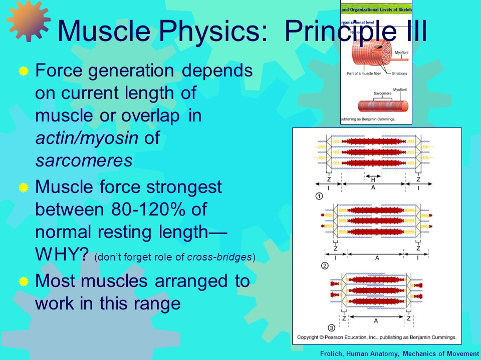Muscle Physics: Principle III