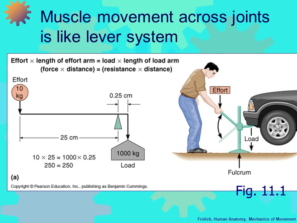 Muscle movement across joints is like lever system