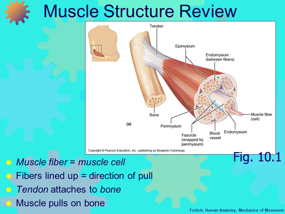 Muscle Structure Review