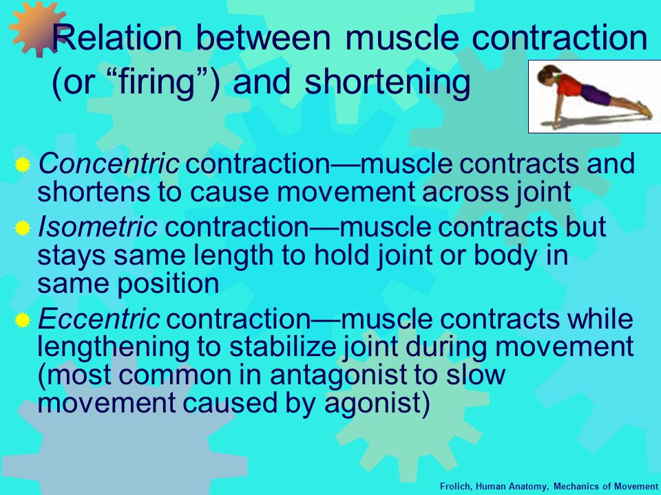 Relation between muscle contraction (or firing ) and shortening