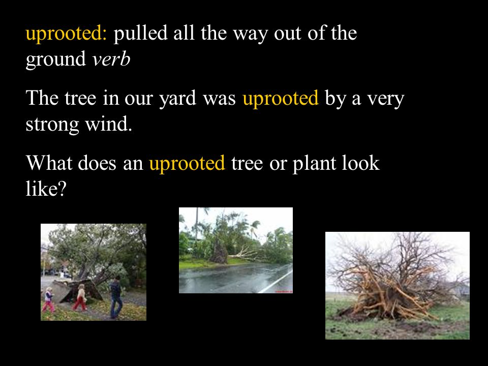 uprooted: pulled all the way out of the ground verb