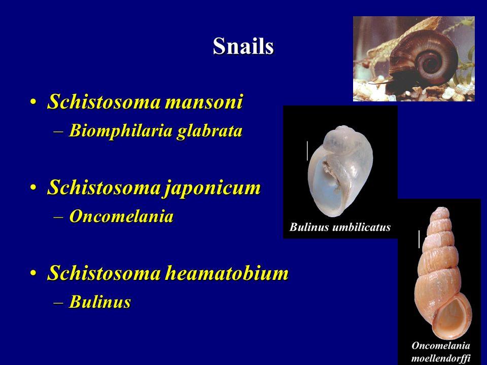 Snails Schistosoma mansoni Schistosoma japonicum