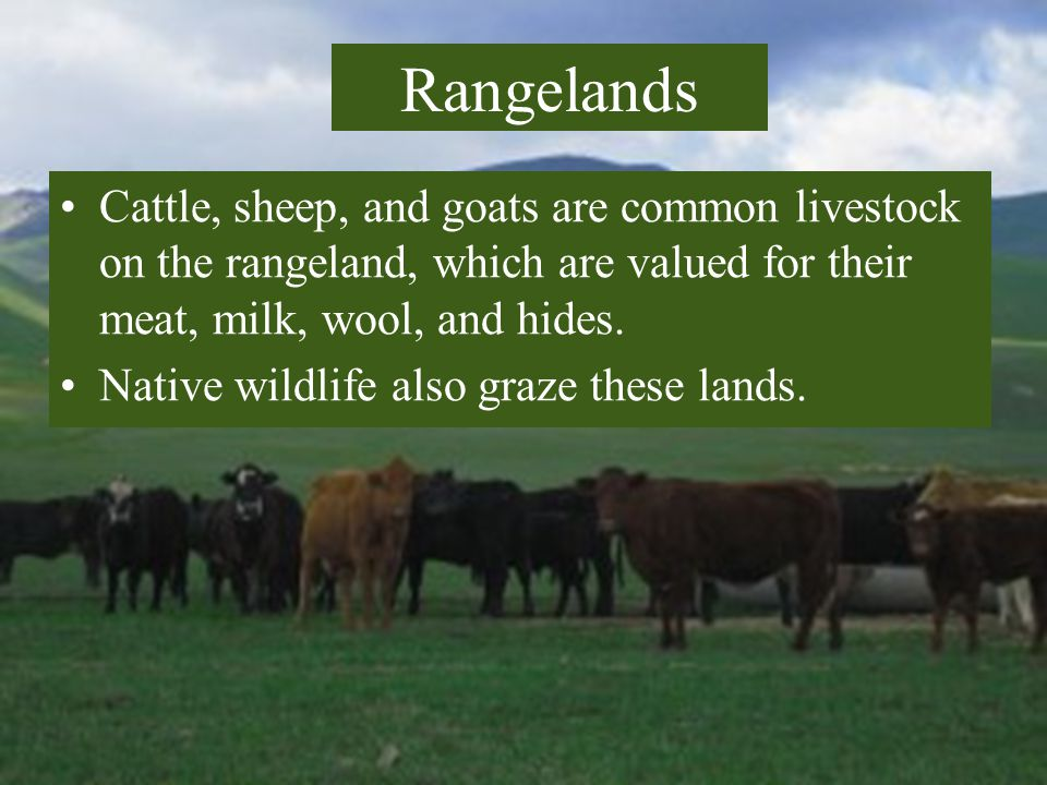 Rangelands Cattle, sheep, and goats are common livestock on the rangeland, which are valued for their meat, milk, wool, and hides.