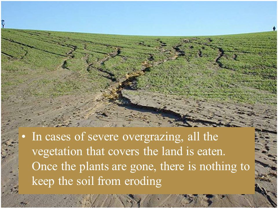 In cases of severe overgrazing, all the vegetation that covers the land is eaten.