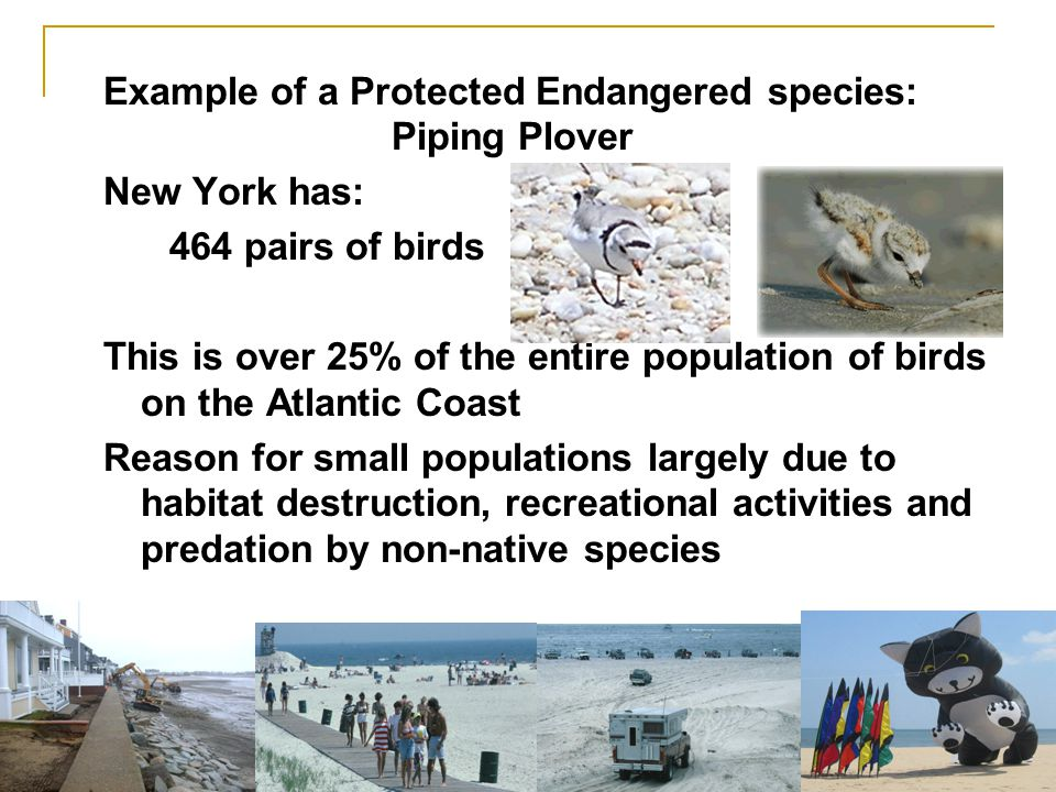 Example of a Protected Endangered species: Piping Plover