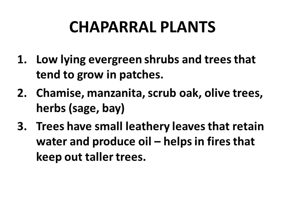 CHAPARRAL PLANTS Low lying evergreen shrubs and trees that tend to grow in patches. Chamise, manzanita, scrub oak, olive trees, herbs (sage, bay)