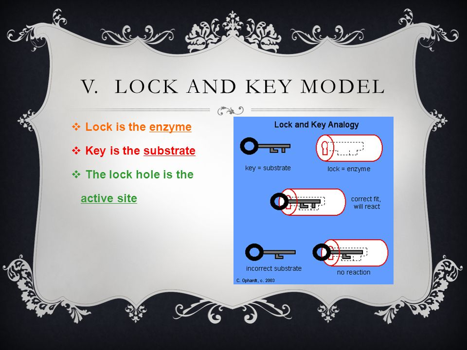 V. Lock and key model Lock is the enzyme Key is the substrate