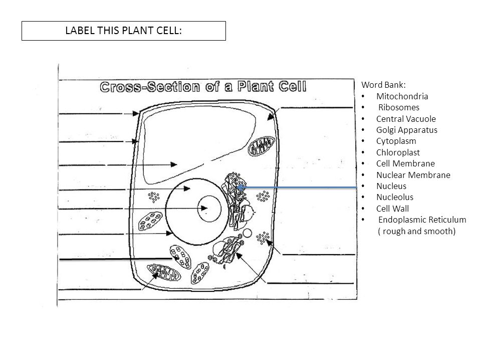 picture of plant cell to label images