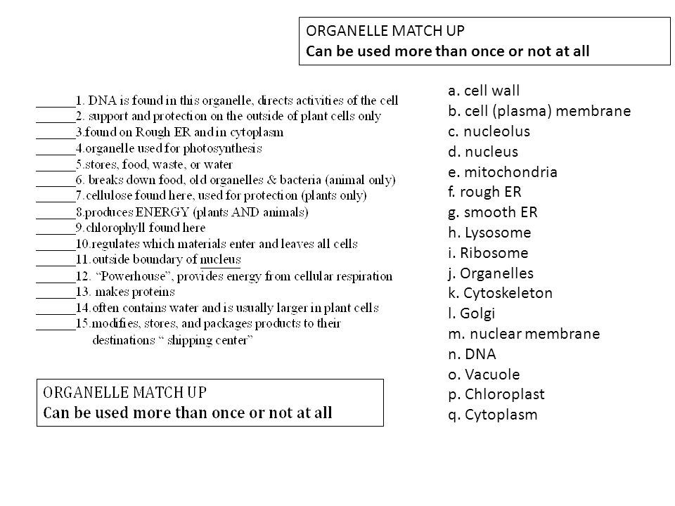 ORGANELLE MATCH UP Can be used more than once or not at all. a. cell wall. b. cell (plasma) membrane.