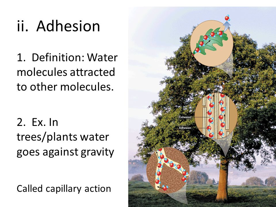 ii. Adhesion 1. Definition: Water molecules attracted to other molecules. 2. Ex. In trees/plants water goes against gravity.