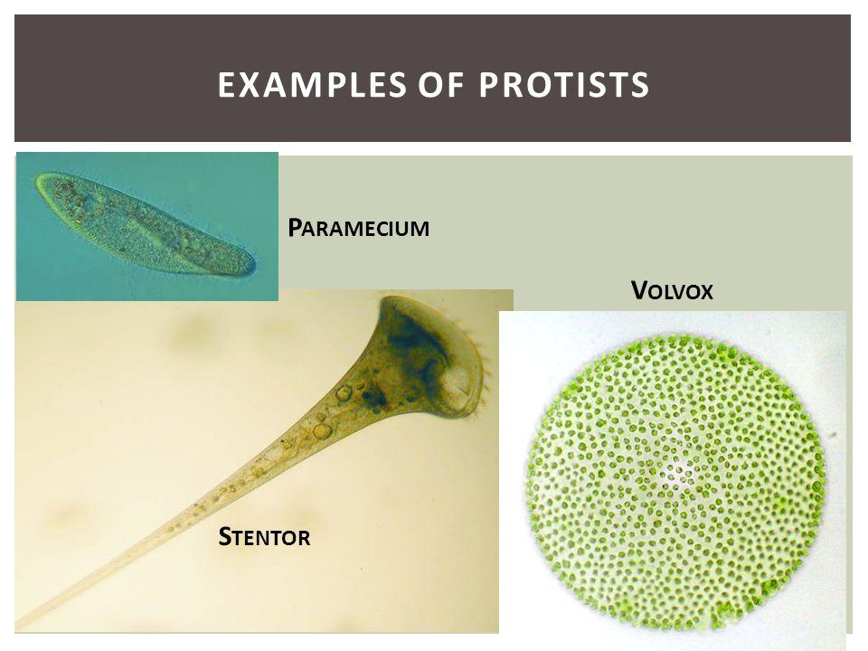 Examples of Protists Paramecium Volvox Stentor