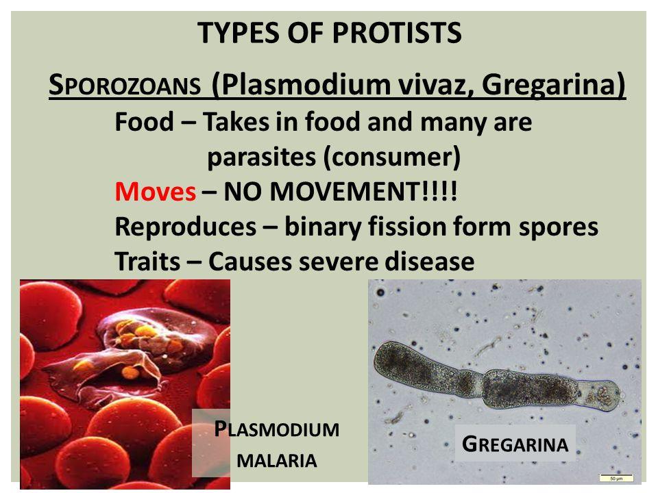Sporozoans (Plasmodium vivaz, Gregarina)