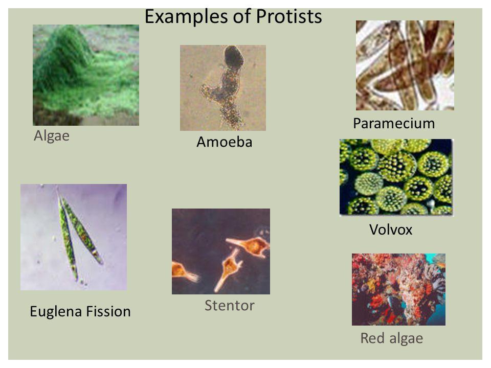 Examples of Protists Paramecium Algae Amoeba Volvox Stentor