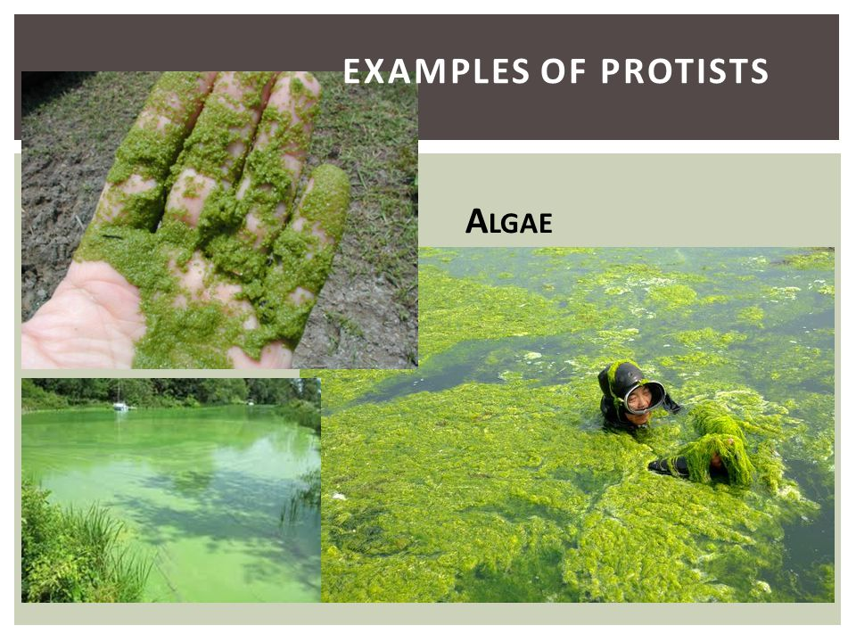 Examples of Protists Algae